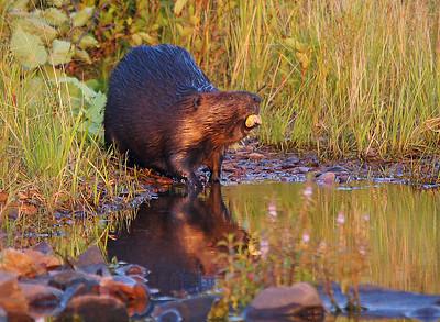 Beaver 22