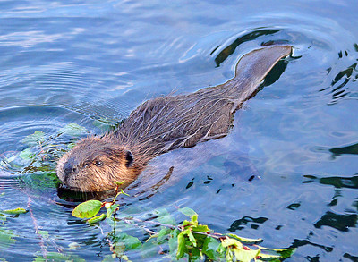Beaver 50