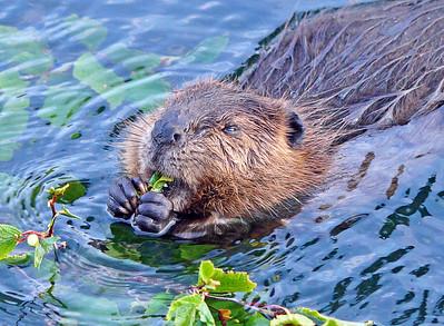 Beaver 45