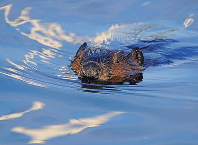 Beaver 25