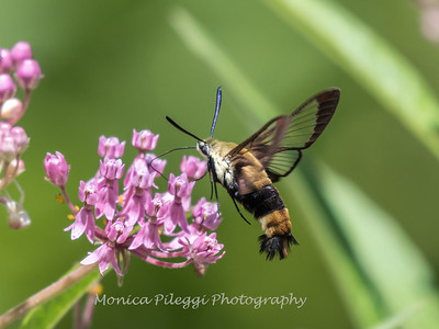 Hummingbird Moth 29 July 2018-3021-2