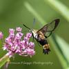 Hummingbird Moth 29 July 2018-3021-2
