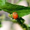 Lady- Bugs