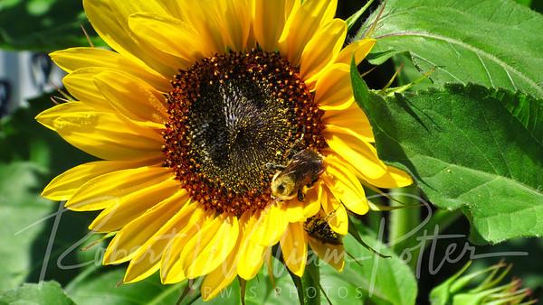 Bumblebee 26215712