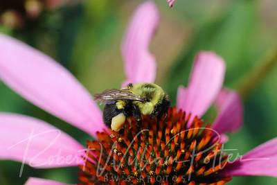 Bumblebee 2262