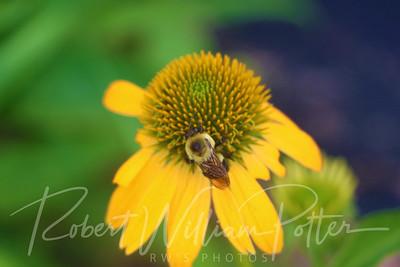 Bumblebee 2162