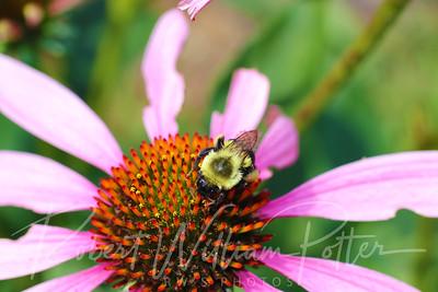 Bumblebee 2255