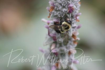 Bumblebee 1517