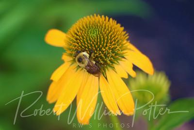 Bumblebee 2164