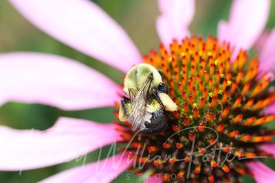 Bumblebee 2259