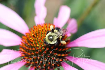Bumblebee 2256
