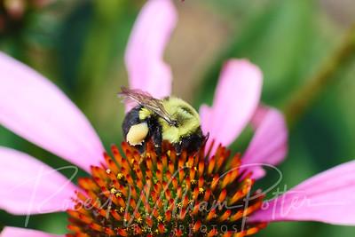 Bumblebee 2263