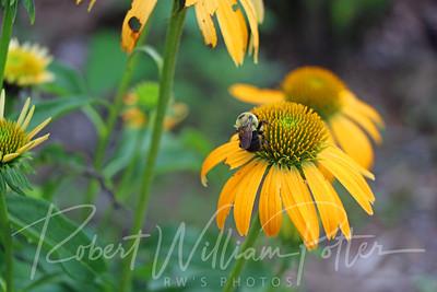 Bumblebee 2157