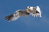 White-tailed Tropicbird (AKA Longtail) - Horseshoe Bay Beach