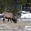 Bull elk in Horseshoe Park - Rocky Mountain National Park.