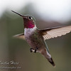 His Majesty Hummingbird