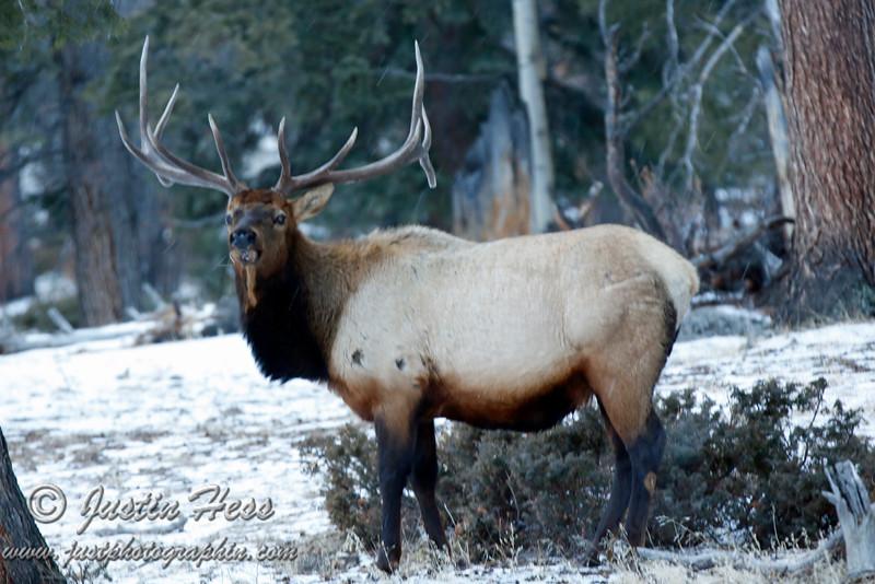 6 x 6 Bull Elk near the west side of Alluvial Fan.