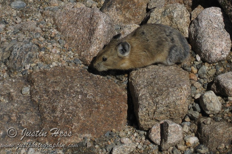 Pika on the Rocks