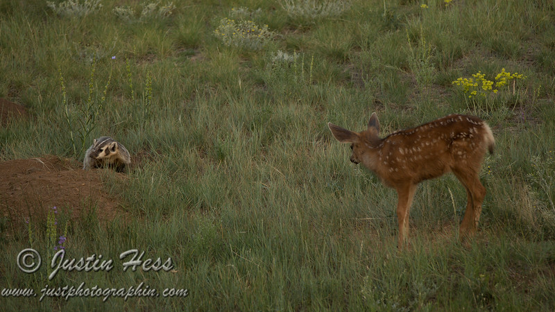 Bambi and the Badger