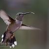 Her Majesty Hummingbird Mirrored