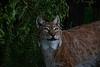 Eurasian Lynx <i>(Lynx lynx)</i>