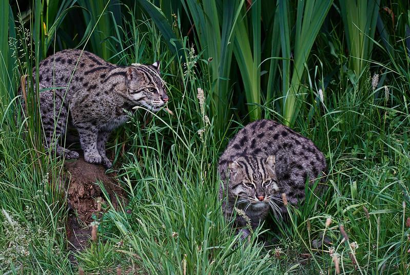 Fishing Cat <i>(Prionailurus viverrinus)</i>