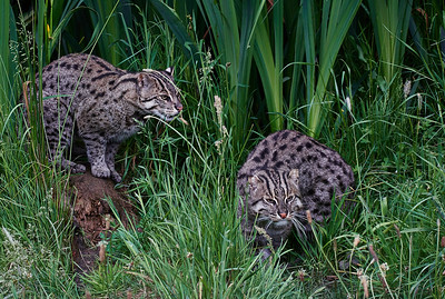 Fishing Cat (Prionailurus viverrinus)