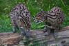Fishing Cat <i>(Prionailurus viverrinus)</i>