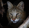 Jungle Cat <i>(Felis chaus)</i>
