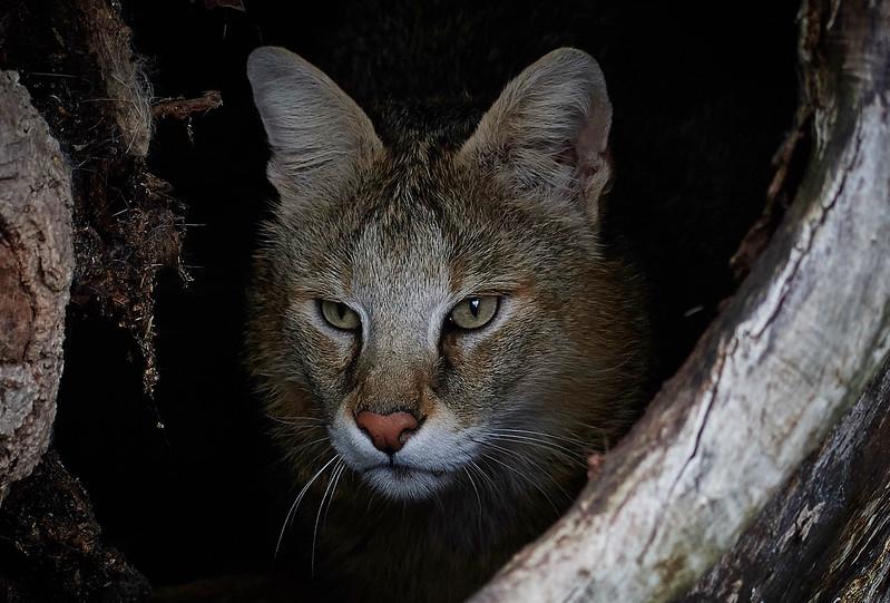Jungle Cat <i>(Felis chaus)</i>