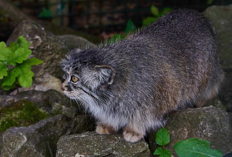Pallas cat <i>(Otocolobus manul)</i>
