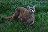 Puma <i>(Puma concolor)</i>