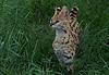 Serval <i>(Leptailurus serval)</i>