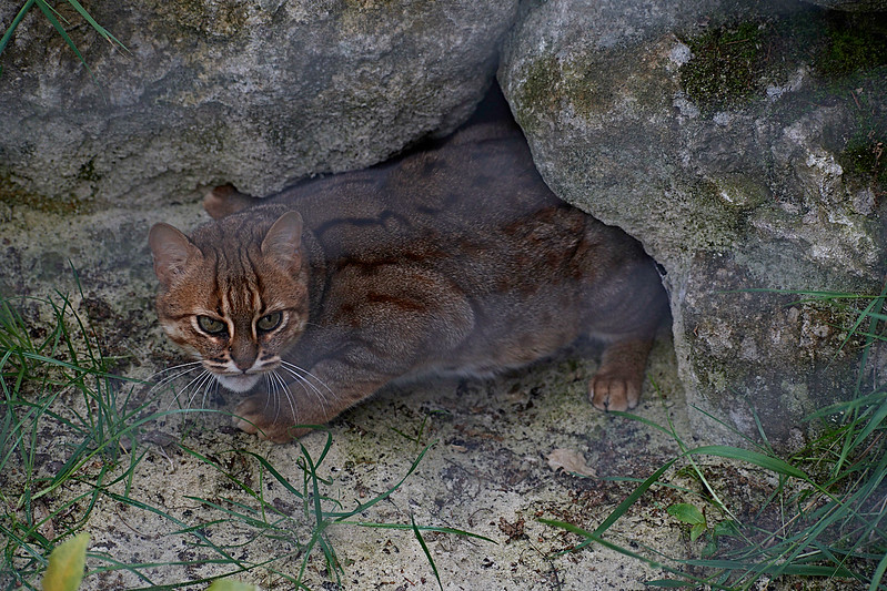 NUWARA - Sri Lankan Rusty Spotted Cat <i>Prionailurus rubiginosus phillipsi</i>