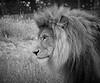 Kafara -  African Lion <i>(Panthera leo leo)</i>