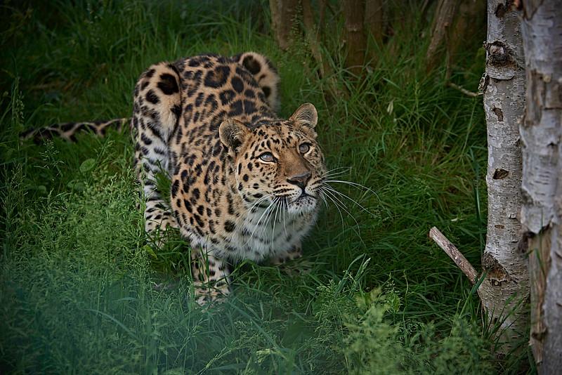 Amur Leopard <i>(Panthera pardus orientalis)</i>