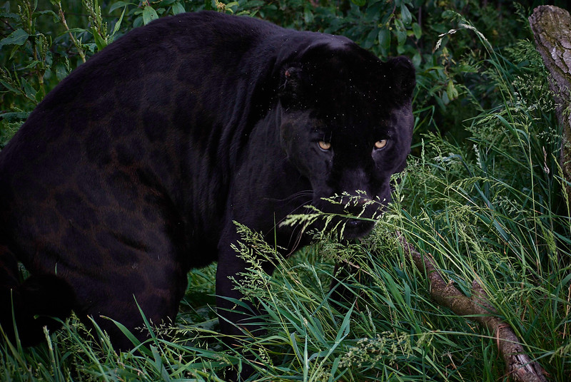 She is a Black Jaguar and her name is Athena <i>(Panthera onca)</i>