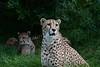 Cheetah <i>(Acinonyx jubatus)</i>
