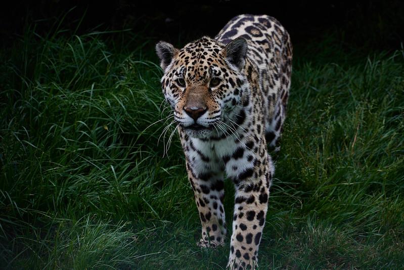 Jaguar <i>(Panthera onca)</i>