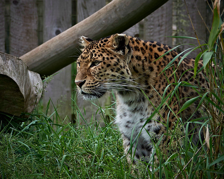 North Chinese Leopard <i>(Panthera pardus japonensis)</i>