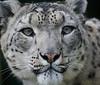 Snow Leopard <i>(Panthera uncia)</i>