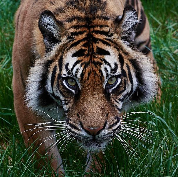 Tiger <i>(Panthera tigris)</i>