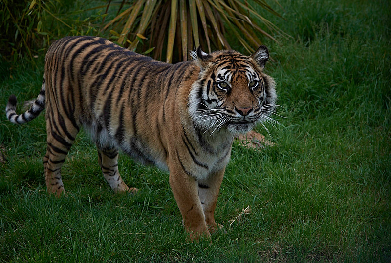 Tiger <i>(Panthera tigris)</i>