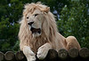 White Lion <i>(Panthera leo leo)</i>