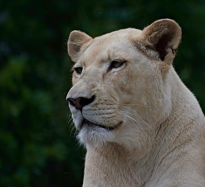 White Lion <i>(Panthera leo leo)</i>