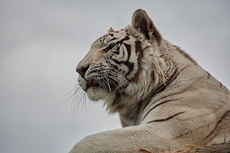White Tiger <i>(Panthera tigris tigris)</i>