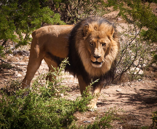 "Perhaps the last living male Barbary Lion, ""Lazarus"".  They used to live on the Barbary Islands off the coast of Africa.  They originally thought the last Barbary Lion was shot in 1942, but a small handful have existed in zoos.  They are known for their black mains."