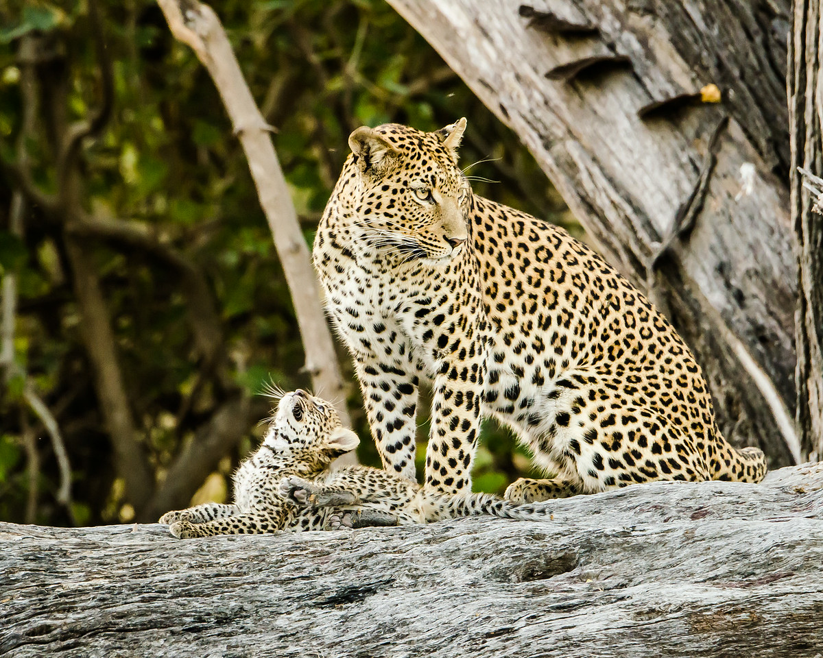 Leopard Cub With Mom