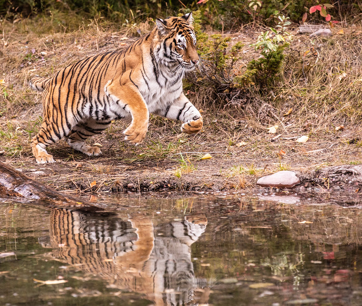 Reflection of running tiger