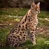 Serval cat at Lions, Tigers & Bears in California